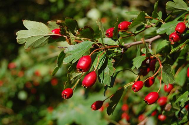 hawthorn-berries KIuiXU
